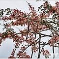 萬榮社區停車場花旗木-2020-04-13.jpg