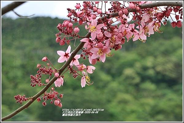 鳳林長橋花旗木-2020-04-03.jpg
