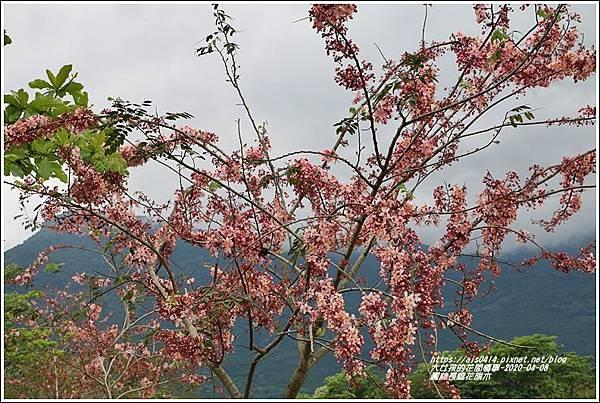 鳳林長橋花旗木-2020-04-06.jpg