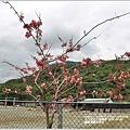 鳳林長橋花旗木-2020-04-11.jpg