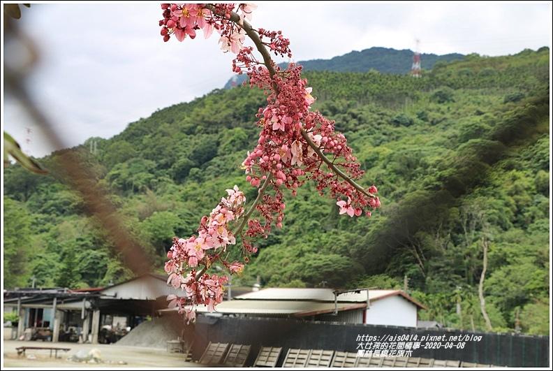 鳳林長橋花旗木-2020-04-10.jpg