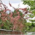 鳳林長橋花旗木-2020-04-09.jpg