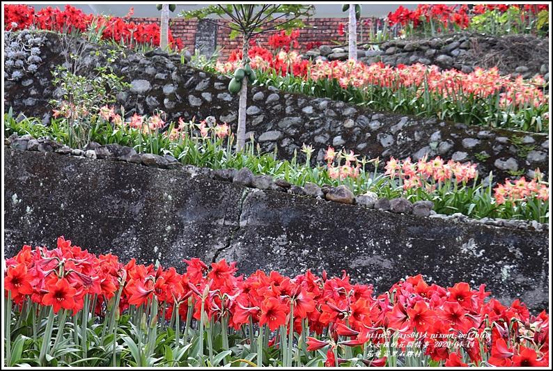 富里石碑村孤挺花-2020-04-05.jpg