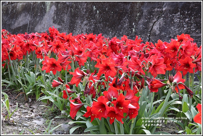 富里石碑村孤挺花-2020-04-11.jpg