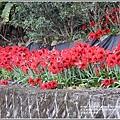 富里石碑村孤挺花-2020-04-25.jpg