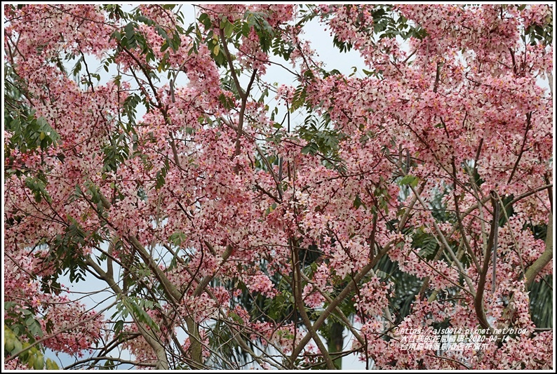 台東鹿鳴溫泉酒店花旗木-2020-04-04.jpg