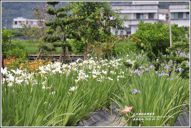 嘉德萱草花田-2020-04-18.jpg