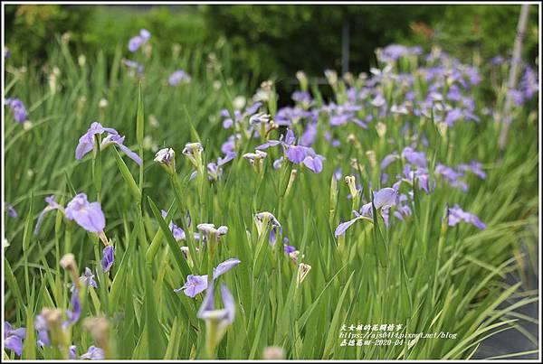 嘉德萱草花田-2020-04-19.jpg