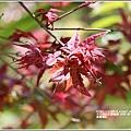 長橋農田楓紅-2020-05-08.jpg
