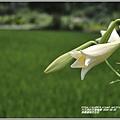 長橋農田鐵炮百合花-2020-05-06.jpg