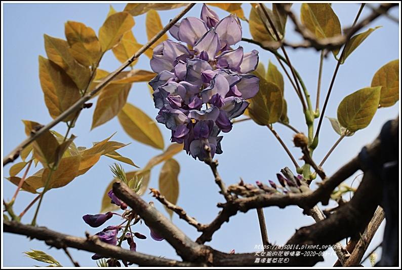 嘉德萱草花田(紫藤)-2020-03-02.jpg