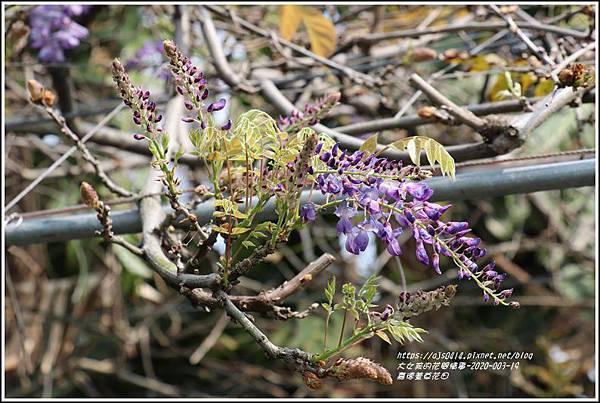 嘉德萱草花田(紫藤)-2020-03-05.jpg