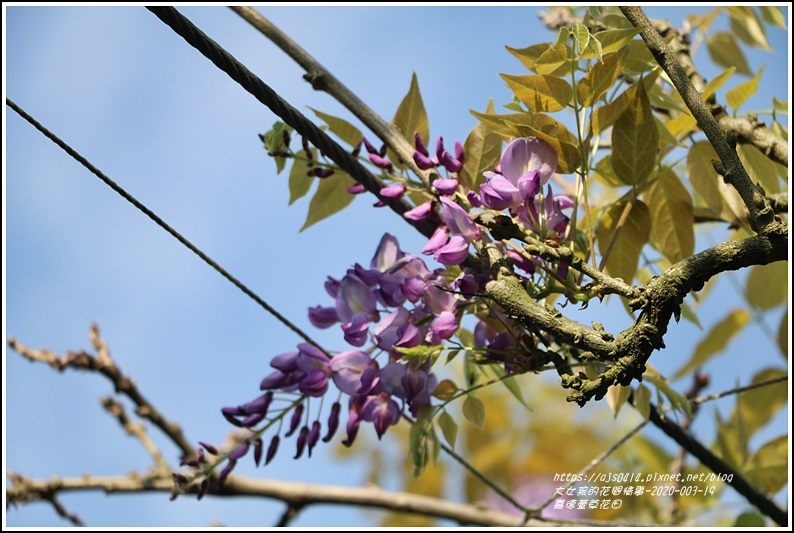 嘉德萱草花田(紫藤)-2020-03-06.jpg