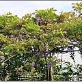 嘉德萱草花田(紫藤)-2020-03-08.jpg