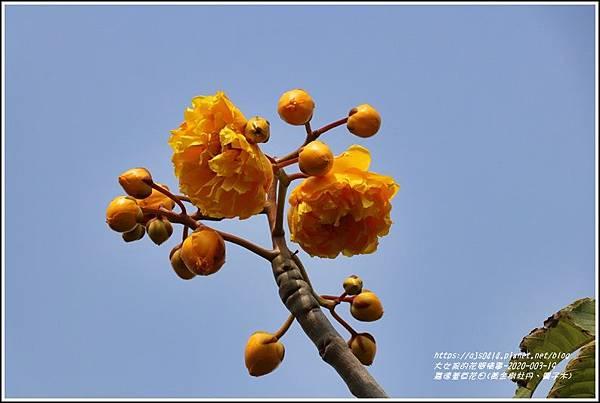 嘉德萱草花田(黃金樹牡丹、彎子木)-2020-03-03.jpg