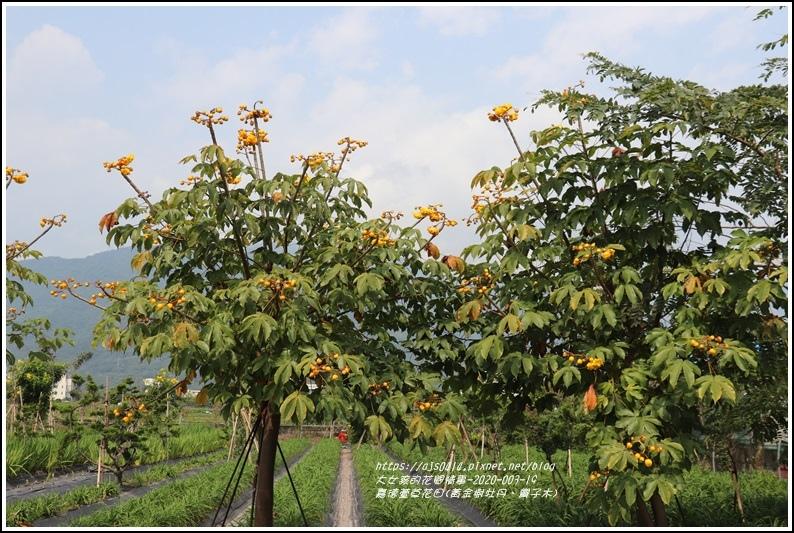 嘉德萱草花田(黃金樹牡丹、彎子木)-2020-03-01.jpg
