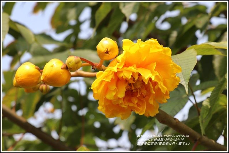 嘉德萱草花田(黃金樹牡丹、彎子木)-2020-03-02.jpg