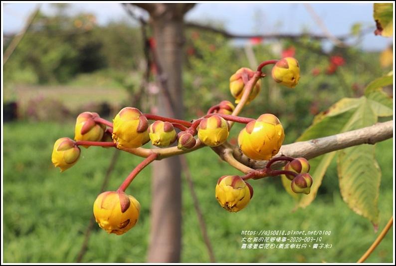 嘉德萱草花田(黃金樹牡丹、彎子木)-2020-03-05.jpg