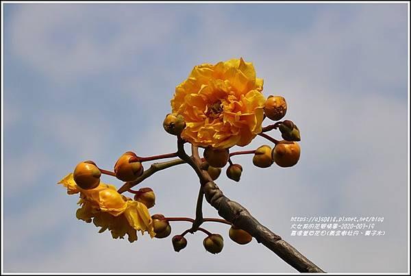 嘉德萱草花田(黃金樹牡丹、彎子木)-2020-03-10.jpg