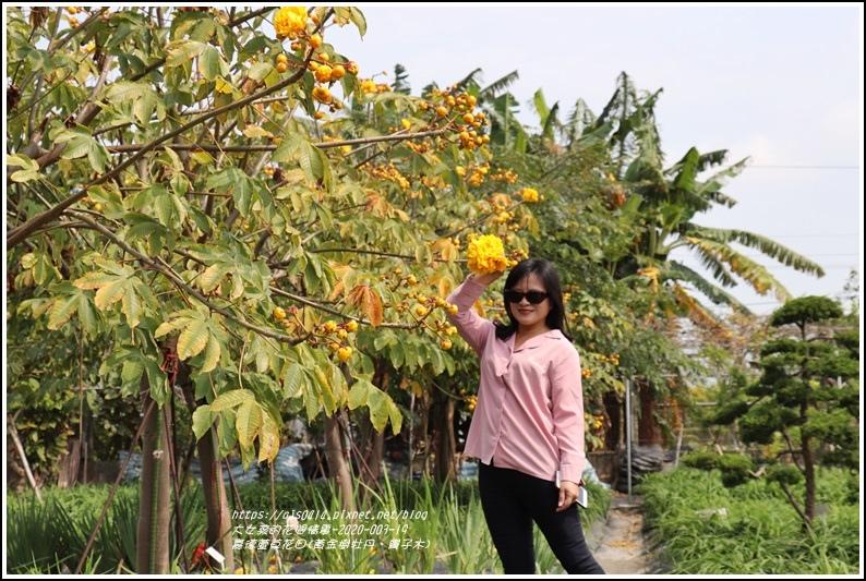 嘉德萱草花田(黃金樹牡丹、彎子木)-2020-03-09.jpg