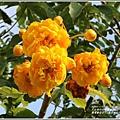 嘉德萱草花田(黃金樹牡丹、彎子木)-2020-03-15.jpg