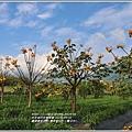 嘉德萱草花田(黃金樹牡丹、彎子木)-2020-03-11.jpg