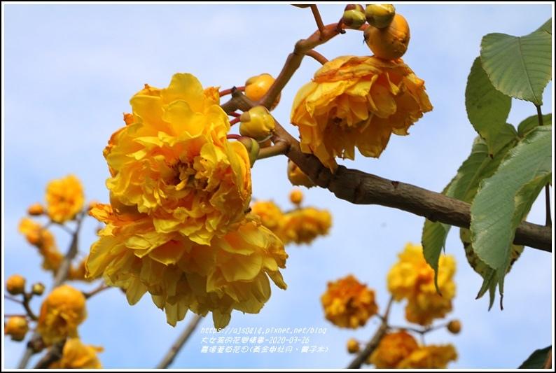 嘉德萱草花田(黃金樹牡丹、彎子木)-2020-03-17.jpg