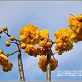 嘉德萱草花田(黃金樹牡丹、彎子木)-2020-03-18.jpg