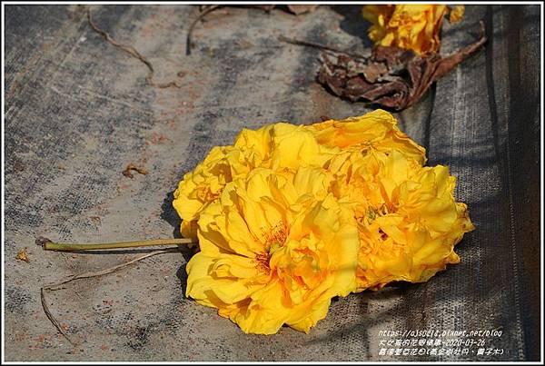 嘉德萱草花田(黃金樹牡丹、彎子木)-2020-03-22.jpg