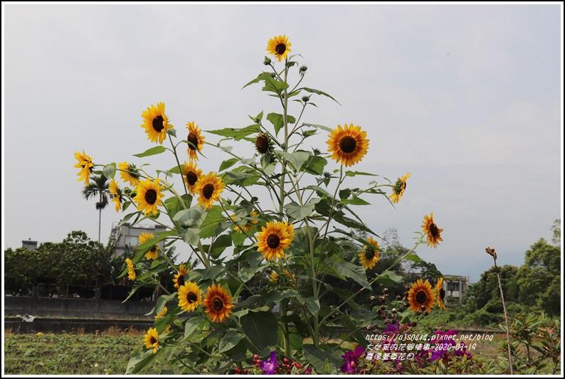 嘉德萱草花田-2020-03-13.jpg