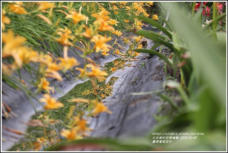 嘉德萱草花田-2020-05-18.jpg