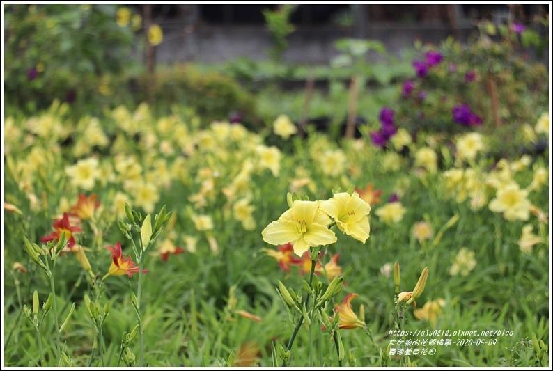 嘉德萱草花田-2020-05-34.jpg