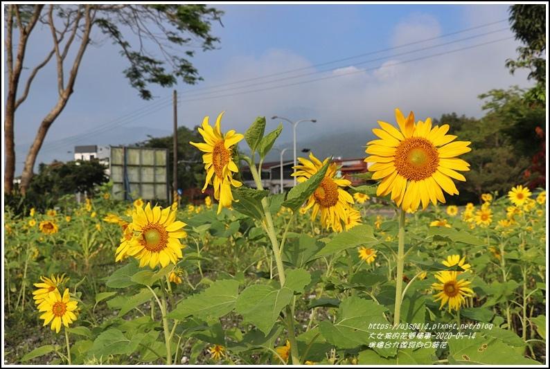 瑞穗台9線段向日葵花-2020-05-03.jpg