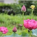玉里松浦段牡丹蓮-2020-05-05.jpg