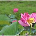 玉里松浦段牡丹蓮-2020-05-09.jpg