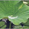 玉里松浦段牡丹蓮-2020-05-08.jpg