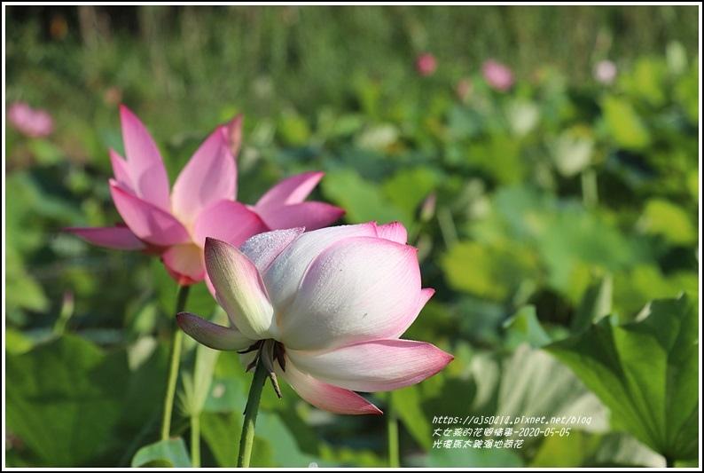 光復馬太鞍濕地荷花-2020-05-14.jpg