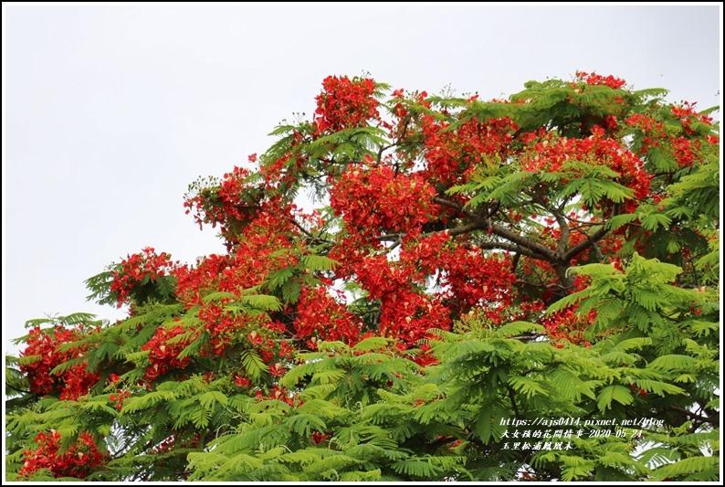 松浦泰林大橋鳳凰木(花蓮193)-2020-05-17.jpg