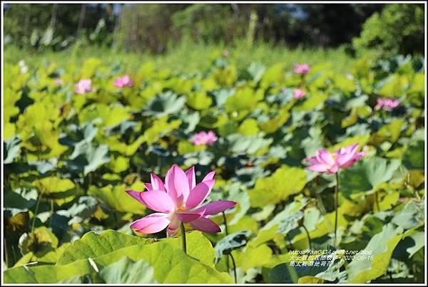 光復馬太鞍濕地荷花-2020-06-26.jpg
