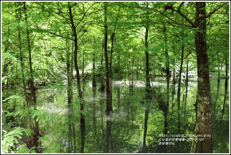吉安南華落羽松-2020-05-06.jpg