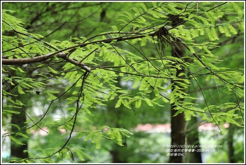 吉安南華落羽松-2020-05-12.jpg