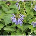 吉安紫錐花-2020-05-01.jpg