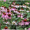 吉安紫錐花-2020-05-04.jpg