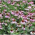 吉安紫錐花-2020-05-11.jpg
