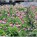 吉安紫錐花-2020-05-09.jpg