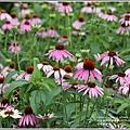 吉安紫錐花-2020-05-08.jpg