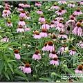 吉安紫錐花-2020-05-12.jpg