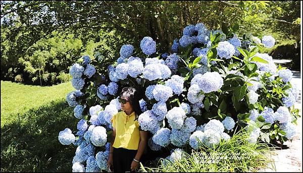 赤柯山繡球花-2020-06-65.jpg