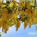 花蓮193阿勃勒(樂德公路)-2020-06-05.jpg