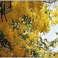 花蓮193阿勃勒(樂德公路)-2020-06-04.jpg